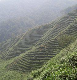 Multi-Million Dollar Tea Business